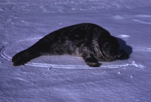 Young ringed seal frozen out in spring